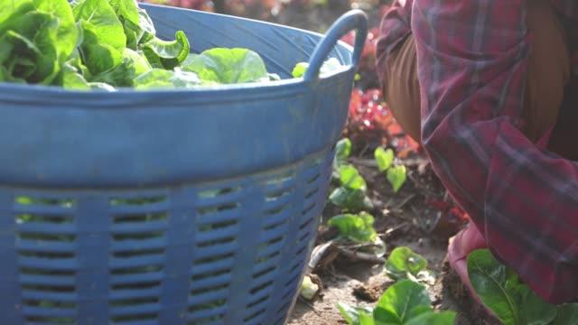 vídeos y material grabado en eventos de stock de verduras hortalizas orgánicas e hidropónicas col creciendo en campo de un granjero - vegetal con hoja