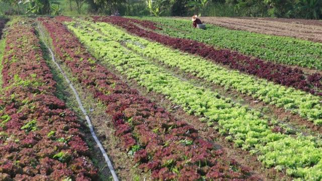 vídeos de stock, filmes e b-roll de legumes legumes orgânicos e hidropônicos repolho crescendo no campo de um fazendeiro - orgânico