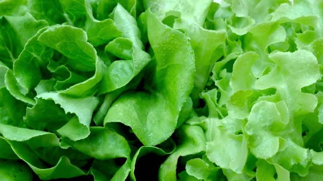 vídeos de stock e filmes b-roll de vegetables organic and hydroponic vegetables cabbage - alface
