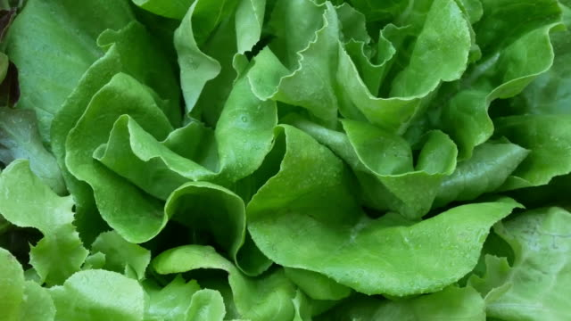vegetables organic and hydroponic vegetables cabbage - botany stock videos & royalty-free footage
