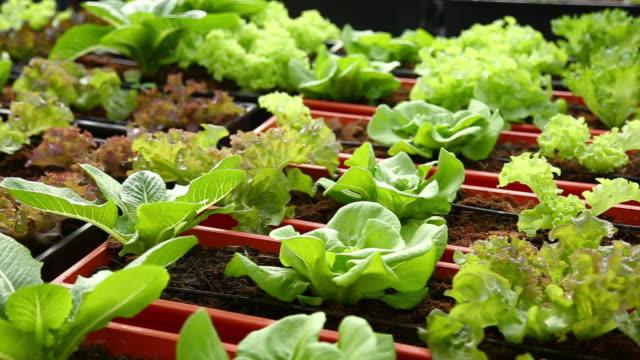 vídeos de stock, filmes e b-roll de vegetais orgânicos, hidropônicos vegetais repolho - orgânico