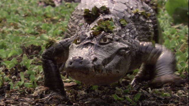 vídeos de stock, filmes e b-roll de vegetation clings to a spectacled caiman as it clambers out of a swamp. available in hd. - pântano