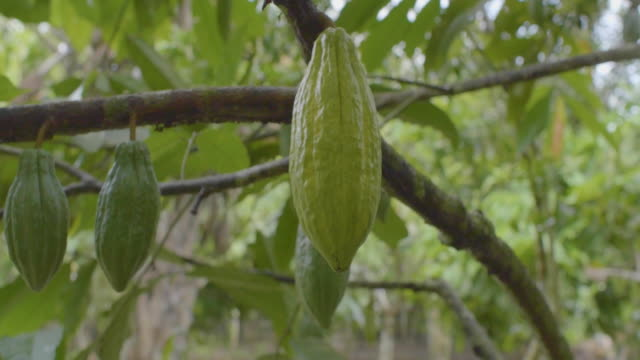 vidéos et rushes de vegetation full of trees with green cocoa fruits - chocolat chaud