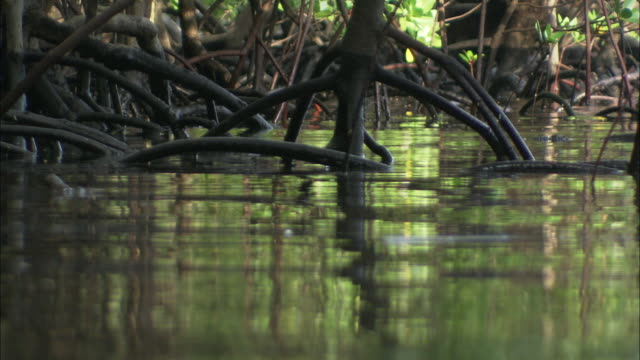 vídeos de stock, filmes e b-roll de vegetation reflects in rippling water surrounding mangroves growing in the water. - arbusto tropical