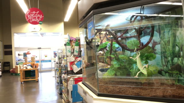 vidéos et rushes de veiled chameleon at petco store in chattanooga tennessee - store