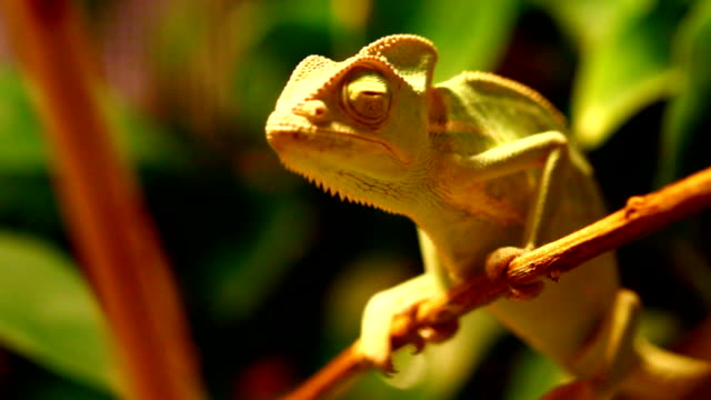 veiled chameleon - insectivore stock videos & royalty-free footage