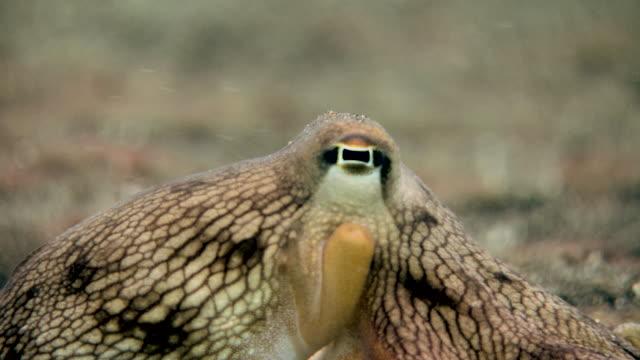 vídeos y material grabado en eventos de stock de veined octopus (amphioctopus marginatus), close-up of eye. - pulpo