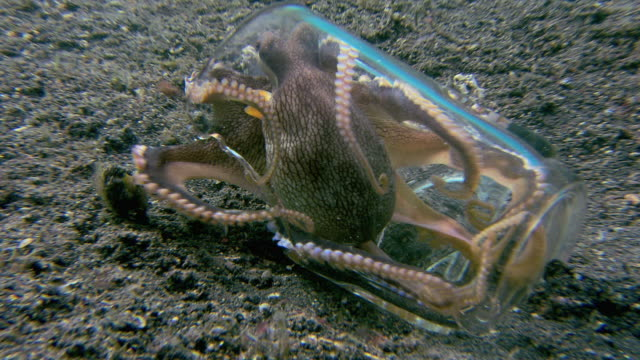 vídeos y material grabado en eventos de stock de veined octopus (amphioctopus marginatus). it is trying to form a protective shelter from two pieces of a broken glass. - pulpo