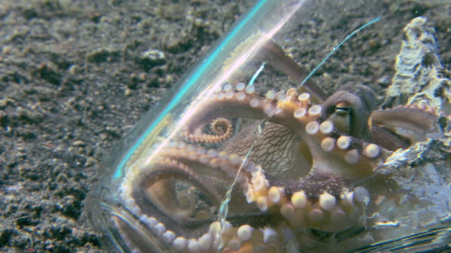 veined octopus (amphioctopus marginatus). it is trying to form a protective shelter from two pieces of a broken glass. - garbage stock videos & royalty-free footage