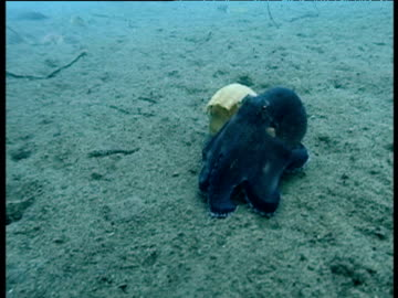 veined octopus squeezes itself into shell on seabed, sulawesi - hiding stock videos & royalty-free footage