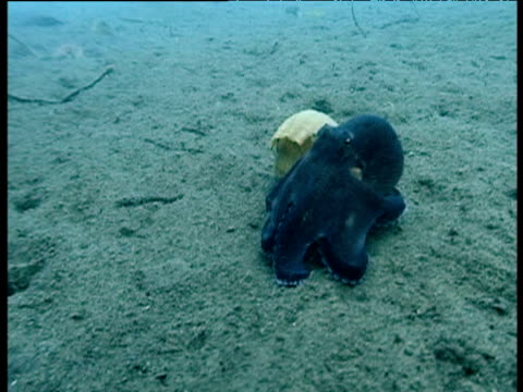 veined octopus squeezes itself into shell on seabed, sulawesi - animal shell stock videos & royalty-free footage