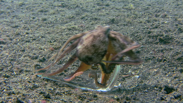 Veined octopus (Amphioctopus marginatus) trying to form a protective shelter from two pieces of a broken glass.