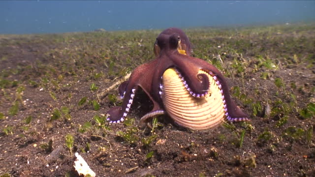 ms ts veined octopus walking with home / lembeh strait, sulawesi, indonesia  - animal shell stock videos & royalty-free footage