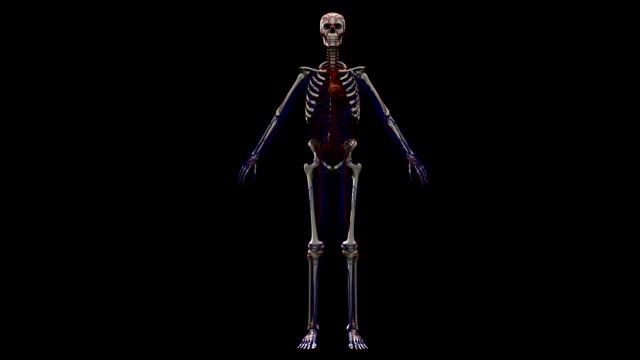 veins and arteries along human skeleton. computer animation - sistema cardiovascolare video stock e b–roll