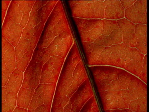 Veins of red leaf