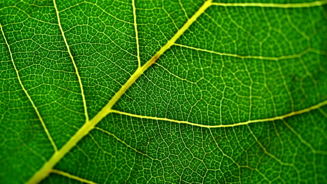 Veins stretch across a vibrant green leaf.