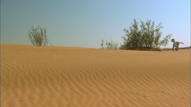 CGI, MS, DS, Velociraptor running on sand dune