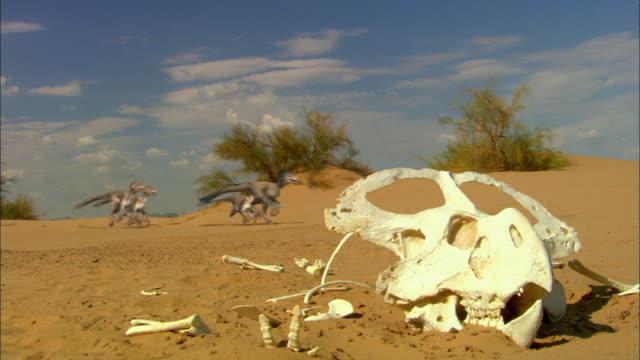 CGI, MS, Velociraptors running on sand dune, Protoceratops skull in foreground