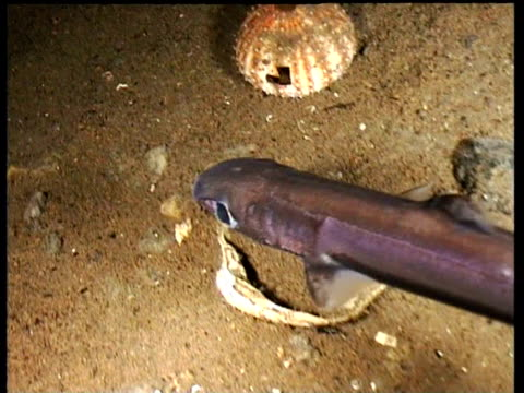 velvet belly shark swims along carrying large isopod parasite feeding on its tail, norway - standing water stock videos & royalty-free footage