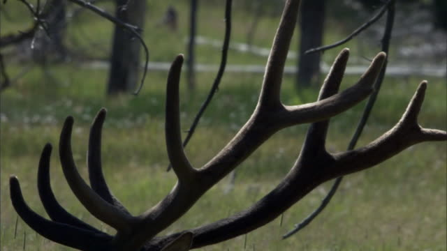 Velvet covered antlers of Elk (Cervus canadensis) stag, Yellowstone, USA