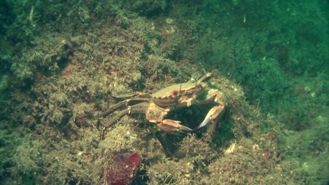 velvet crab.  pembrokeshire, wales, uk - pembrokeshire stock videos & royalty-free footage