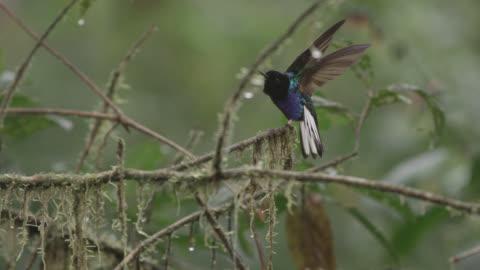 velvet purple coronet hummingbird (boissonneaua jardini) takes off in forest, ecuador - south america stock videos & royalty-free footage