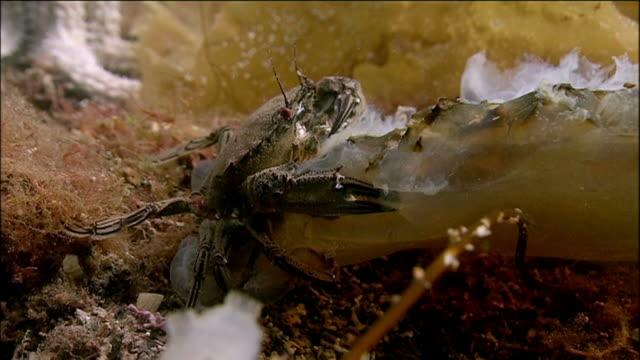 Velvet swimming crab (Necora puber). Arran. Underwater, North Atlantic