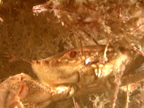 vídeos de stock, filmes e b-roll de velvet swimming crab walks over wreck  at night, bright red eyes ms - parte do corpo animal