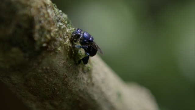 Venezuela: Blue bee on a tree
