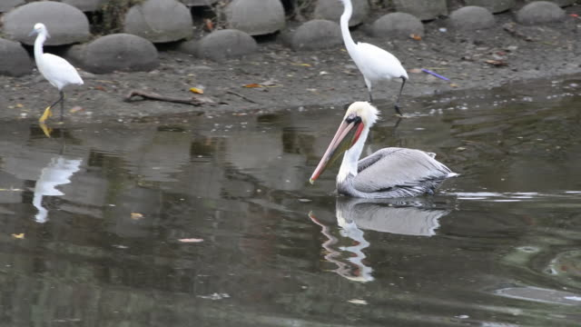 venice canal historic district in venice california, pan with a white pelican swimming in the canal and two white herons walking on the shore,... - egret stock videos & royalty-free footage