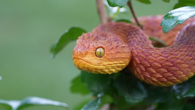 stockvideo's en b-roll-footage met giftige bush viper flicking it's tongue (atheris squamigera) - reptile