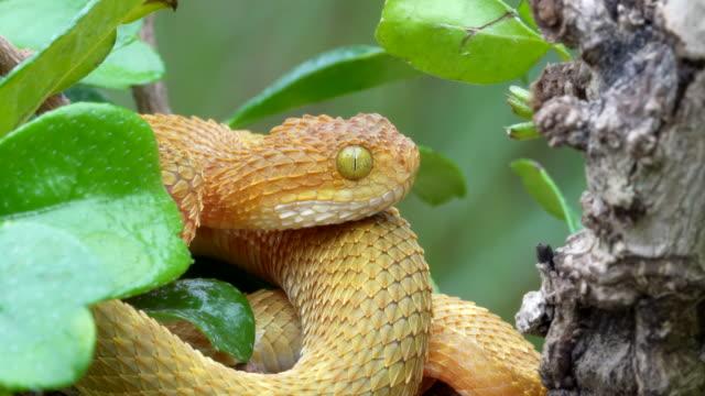 vidéos et rushes de viper venimeux de bush dans la langue de clignotement d'arbre 4k - serpent