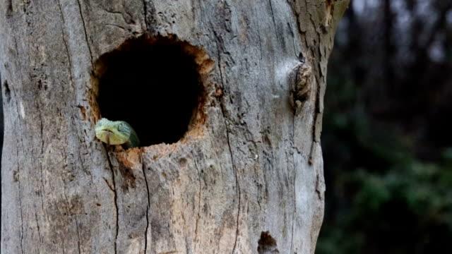 Vipera serpente Venomous Bush emerge dall'nido d'uccello