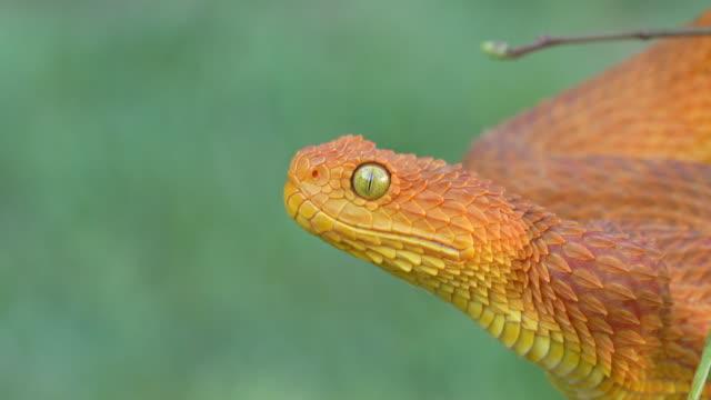venomous bush viper snake (atheris squamigera) opening mouth 4k video - viper stock videos & royalty-free footage