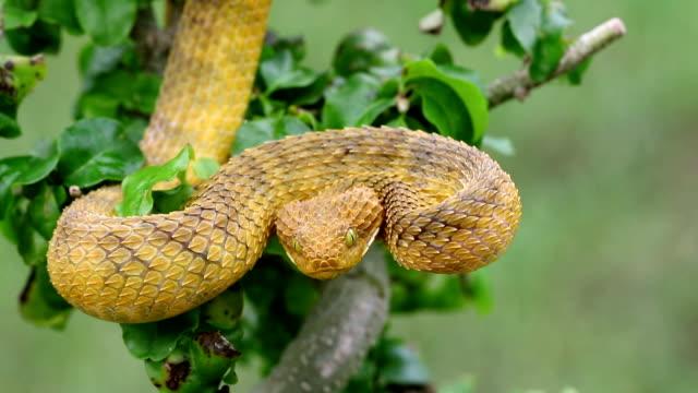 Venomous Bush Viper Snake Striking out