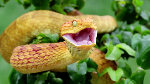 Venomous Bush Viper Snake Swallowing Maus