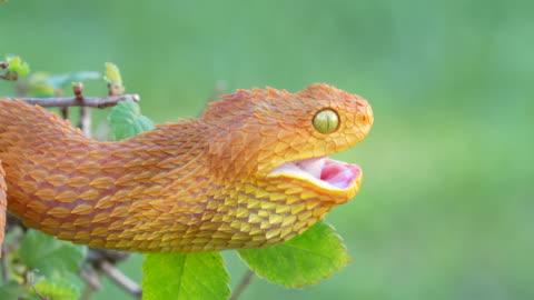venomous bush viper snake (atheris squamigera) swallowing prey 4k video - viper stock videos & royalty-free footage