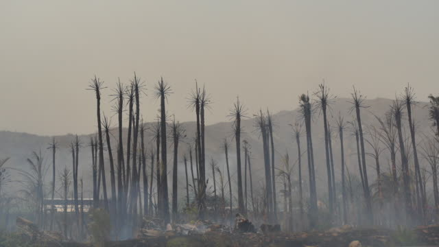 palm trees are blackened and scorched after wind driven fire rips through a palm tree farm along the 101 freeway in the faria beach near the pacific... - ventura stock videos and b-roll footage