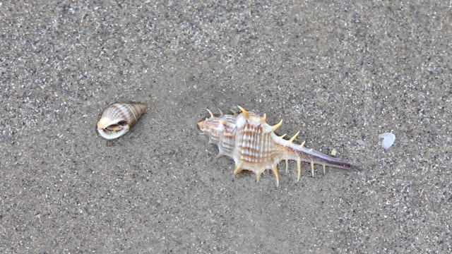 venus comb murex seashell - seashell stock videos & royalty-free footage