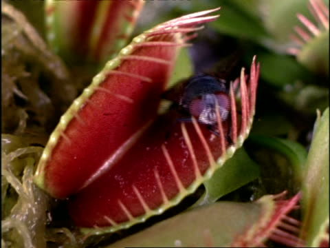 Venus Fly Trap catching fly, UK