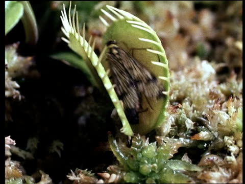 vídeos y material grabado en eventos de stock de mcu venus fly trap (dionaea) catching scorpion fly - carnivorous plant