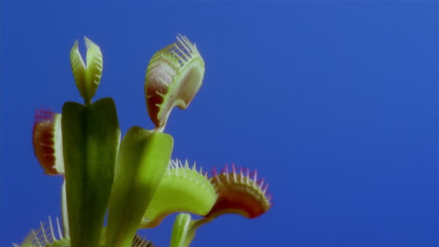 vídeos de stock, filmes e b-roll de ms t/l venus fly trap (dionaea muscipula) opening against blue screen  - carnivorous plant