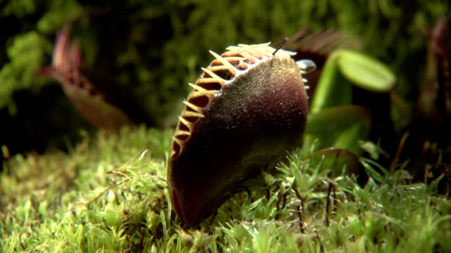 venus flytrap catching a fly - bog stock videos & royalty-free footage