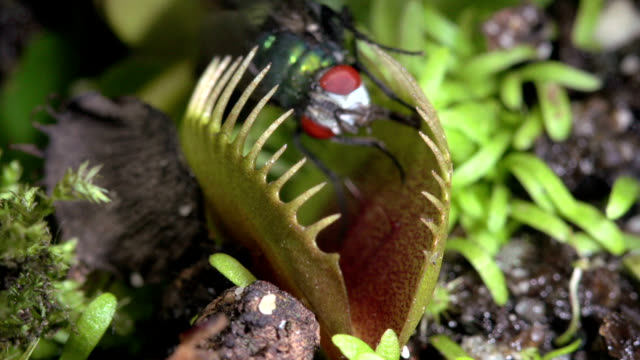 venus flytrap catching a fly - carnivorous plant stock videos and b-roll footage