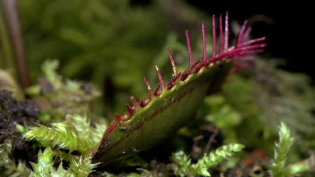 vídeos y material grabado en eventos de stock de venus flytrap digesting prey - carnivorous plant