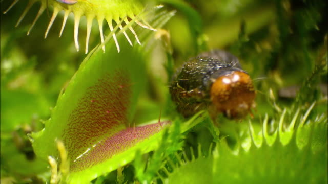 venus flytrap hunts caterpillar (indonesia) - insel komodo stock-videos und b-roll-filmmaterial