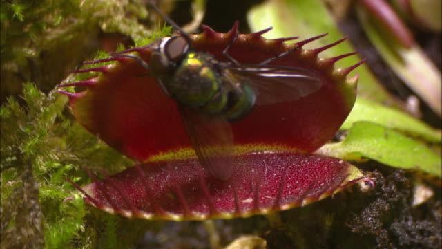 venus flytrap hunts fly (indonesia) - insectivore stock videos & royalty-free footage
