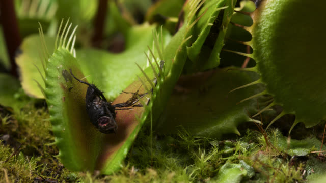 tl venus flytrap trap opens revealing fly prey, uk - insectivore stock videos & royalty-free footage
