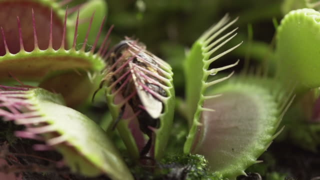 slow motion: venus flytrap - trapped stock videos & royalty-free footage