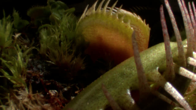 venus flytrap - bog stock videos & royalty-free footage